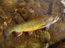 溪充分的鳟鱼查阅 图库摄影