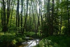 溪在森林里在清早 免版税图库摄影