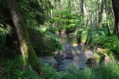 溪在森林里在清早 库存图片