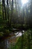 溪在森林里在清早 免版税库存照片