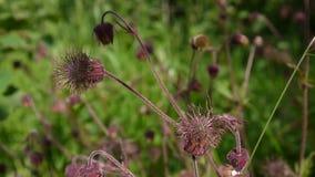 溪边水杨柳,紫色水杨梅属水杨梅rivale在沼泽和潮湿的草甸增长 突然上升静态照相机关闭的英尺长度 影视素材