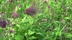 溪边水杨柳,紫色水杨梅属水杨梅rivale在沼泽和潮湿的草甸增长 全景行动照相机 影视素材
