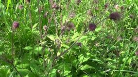 溪边水杨柳,紫色水杨梅属水杨梅rivale在沼泽和潮湿的草甸增长 英尺长度射击行动照相机全景与 股票录像