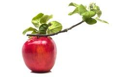 溶化分支一成熟苹果 免版税库存图片