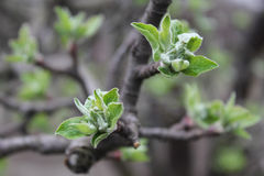溶化苹果小树枝  免版税图库摄影