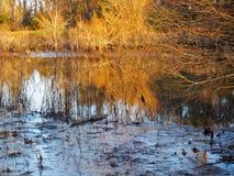 滑倒入沼泽的鳄鱼 免版税库存照片