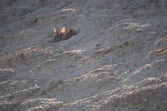 滑倒而不是跳跃,ivars和vilasana的兔子,lerida 图库摄影
