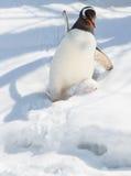 滑倒雪的下来gentoo企鹅 免版税图库摄影