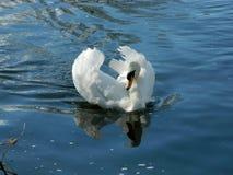 滑动在泰晤士河的一只白色天鹅在萨里 免版税库存照片