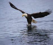 滑动对水着陆的白头鹰成人 库存图片
