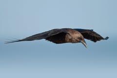 滑动的乌鸦 图库摄影