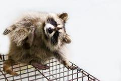 滑稽和毛茸的浣熊坐笼子 免版税库存照片