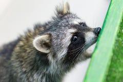 滑稽和毛茸的浣熊特写镜头 免版税库存图片