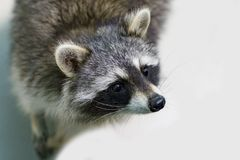 滑稽和毛茸的浣熊特写镜头 免版税图库摄影