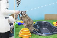 滑稽和毛茸的浣熊特写镜头 库存照片