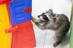 滑稽和美丽的浣熊在动物园里 库存照片