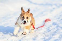 滑稽小狗奔跑一只小红发小狗沿白色随风飘飞的雪的在一个冬天公园在一好日子 免版税库存图片