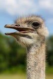 滑稽的与大眼睛的驼鸟女性顶头特写镜头有绿色背景和选择聚焦 免版税库存图片