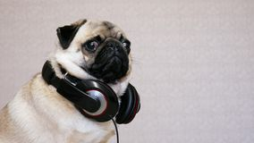 滑稽的与大耳机的哈巴狗狗听的音乐画象  股票录像