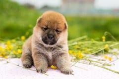 滑稽的两个星期年纪小狗品种shiba inu画象坐桌在毛茛草甸 库存照片