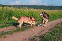 滑稽的多壳的狗使用与在土路的塑料瓶反对绿色领域 跳跃和跑在步行的西伯利亚爱斯基摩人 免版税库存照片