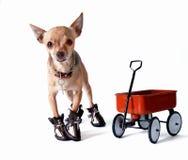 滑稽的奇瓦瓦狗 库存图片