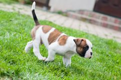 滑稽的好的红色美国牛头犬小狗在草走 免版税库存照片