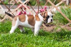滑稽的好的红色美国牛头犬小狗在草走 免版税库存图片