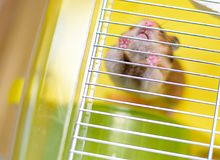 滑稽的姜仓鼠离开它的笼子 免版税库存照片