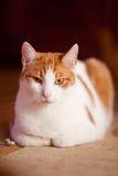滑稽的姜猫 免版税库存照片