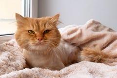 滑稽的姜长发猫修饰与理发说谎在一条软的桃红色毯子下 免版税图库摄影