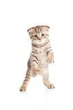 滑稽的嬉戏的猫小猫宠物跳舞 图库摄影
