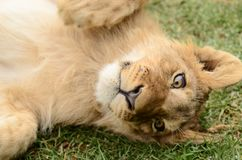滑稽的嬉戏的非洲幼狮 图库摄影