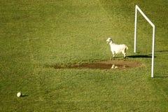 滑稽的守门员山羊照片体育运动 免版税图库摄影
