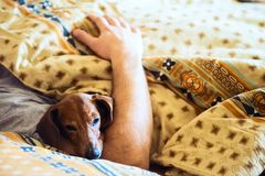 滑稽的小狗睡着在与她的容忍睡觉拥有 免版税库存图片