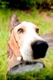 滑稽的小猎犬 免版税库存图片