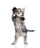 滑稽的小猫嬉戏的常设白色 免版税库存图片