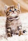 滑稽的小猫 免版税图库摄影