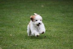 滑稽的小havanese小狗在庭院里跑 库存照片