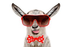 滑稽的山羊画象在的太阳镜和蝶形领结,显示舌头 免版税库存图片