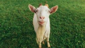 滑稽的山羊画象  免版税库存照片
