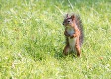 滑稽的幼小红松鼠在夏天公园 库存图片
