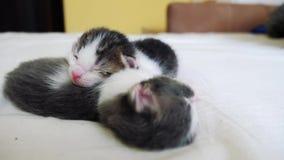 滑稽的录影两只宠物逗人喜爱的新出生的小猫睡觉在床上的配合 宠物概念宠物概念生活方式 小的宠物 股票录像
