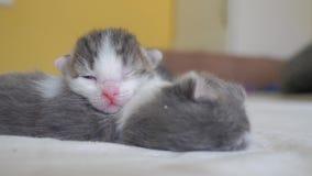 滑稽的录影两只宠物逗人喜爱的新出生的小猫睡觉在床上的配合 宠物概念宠物概念 一点宠物猫镶边了 股票录像