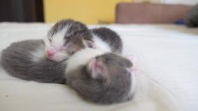 滑稽的录影两只宠物逗人喜爱的新出生的小猫睡觉在床上的配合 宠物概念生活方式宠物概念 小的宠物 股票录像