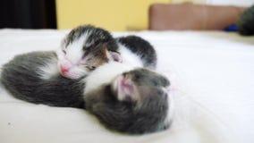滑稽的录影两只宠物逗人喜爱的新出生的小猫睡觉在床上的配合 宠物生活方式概念宠物概念 一点宠物 影视素材