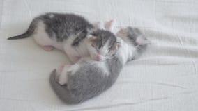 滑稽的录影两只生活方式宠物逗人喜爱的新出生的小猫睡觉在床上的配合 宠物概念宠物概念 小的宠物 股票录像