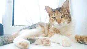 滑稽的录影猫 猫设法得到说谎在桌上的窗口基石猫叫声 慢动作录影 三色猫宠物 股票视频