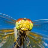 滑稽的微笑的蜻蜓昆虫画象 免版税图库摄影