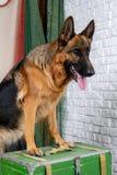 滑稽的德国牧羊犬发现了珍宝 库存照片